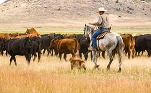 Rancher hurding his cattle