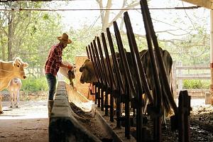 farmer feeding his cows